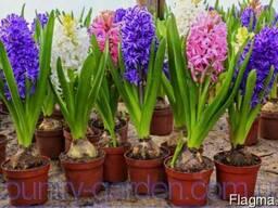 Продам саженцы Гиацинта и много других растений
