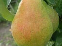 Продам саженцы Грушы и много других растений (опт от 1000 гр