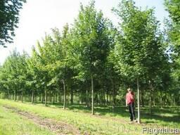Продам саженцы Клена и много других растений