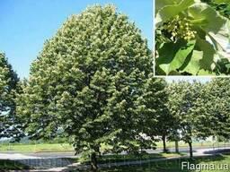 Продам саженцы Липы и много других растений
