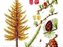 Продам саженцы Листвиницы и много других растений