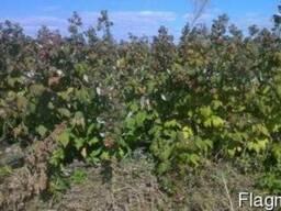 Продам саженцы малины и клубники