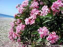 Продам саженцы Олеандра и много других растений