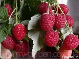 Продам саженцы самой вкусной садовой ягоды Малины