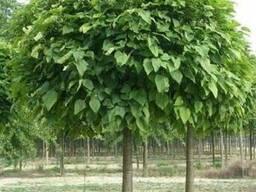 Продам саженцы Шелковицы и много других растений
