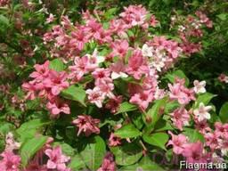 Продам саженцы Вейгелы и много других растений