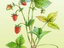 Продам саженцы Земляники и много других растений