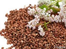 Продам семена гречихи Granby, насіння гречки, купить гречку дл