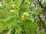 Продам семена караганы древовидной - фото 1