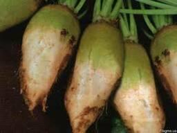 Продам семена кормовой свеклы (кормовий буряк) сорт Центаур