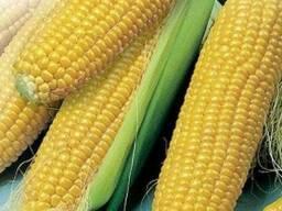 Продам семена кукурузы, Днепровский 257СВ,Солонянский 298СВ