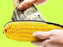 Насіння кукурудзи семена кукурузы Канадский гибрид ФАО 250