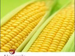 Продам семена кукурузы Лимагрейн (гибрид)