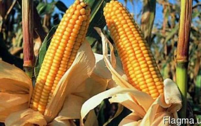 Продам Семена Кукурузы Любава 279 МВ, Подольский 274 СВ,