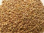 Продам семена люцерны в большим и малом оптом - фото 1