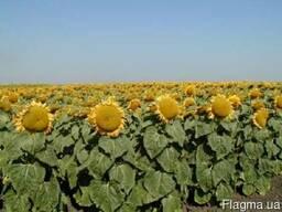 Продам семена подсолнечника гибрид Славсон (УКР)