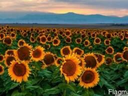 Продам семена подсолнечника, Карат, Солнечное настроение,