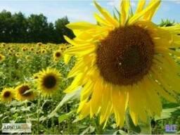 Продам семена подсолнечника ЯСОН