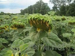 Продам семена подсолнечника Жалон(стандарт, экстра) 1160грн.