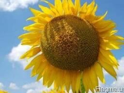 Продам Семена подсолнечника ЗУ Инесса