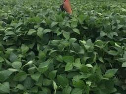 Продам семена сои, ЭЛИТА, НЕ ГМО 24000 грн/т