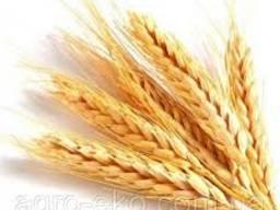 Продам Шестопаловка(пшеница)