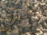Продам Сморчок (Verpa bohemica / morcella conica) - фото 2