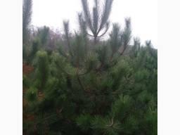 Продам сосну крымскую, крымка, елка, ёлка новогодняя, опт