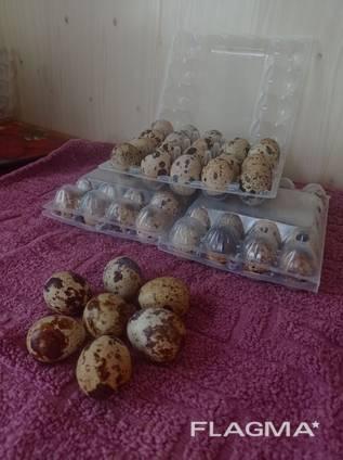 Продам столовое яйцо перепела.