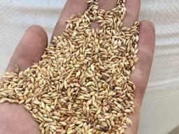 Семена суданки Насіння суданки