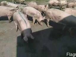 Продам свиней, трехпородный гибрид, весом 75-100 кг.