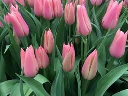 Продам тюльпан оптом к 8 марта