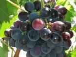 Продам виноград - фото 2