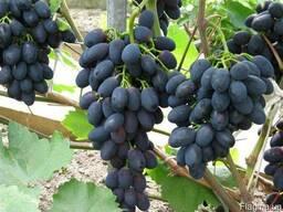 """Продам виноград """"Молдова"""""""