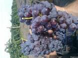Продам виноград Розовая изабелла крупноплодная - фото 2