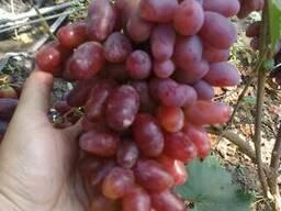 Продам виноград сортовой 2018 оптом