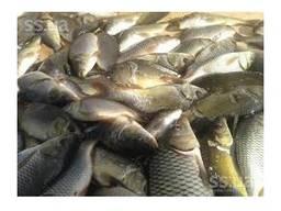 Продам высококачественный рыбопосадочный материал :однолетку