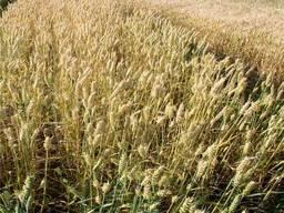 Продам высокоякісне насіння озимої пшениці сорт Колоніа