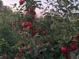 Продам яблоки Гала - фото 2