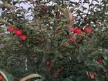 Продам яблоки Гала - фото 3