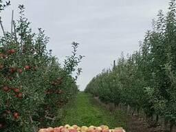 Продам яблоки груша
