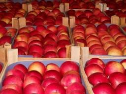 Продам яблоки на закладку