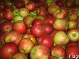 Продам яблоки оптом