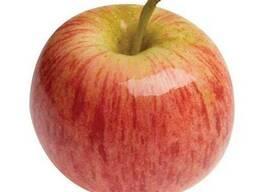 Продам яблоки сорта Гала