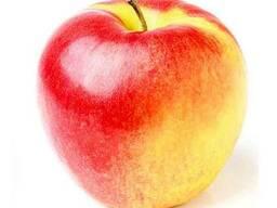Продам яблоки сорта Радогость