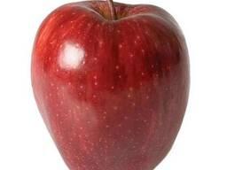 Продам яблоки сорта Ред-Чиф