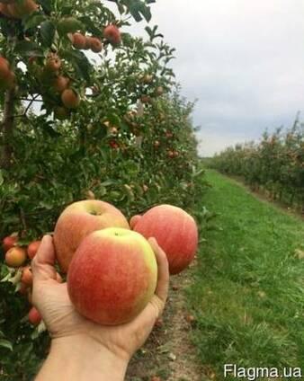 Продам яблуко Чемпіон, фуджі, Джонагоред