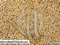 Продам Ячмень и Пшеницу