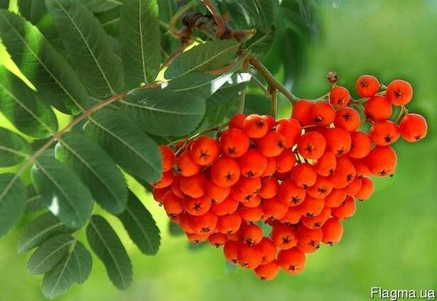 Продам ягоду рябина красная