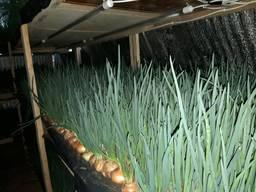 Продам зеленый лук (перо), цена договорная